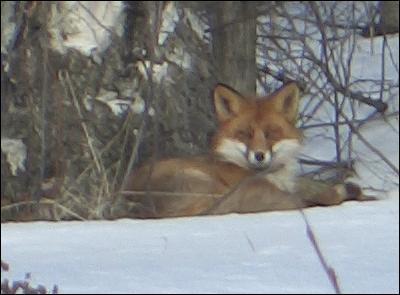 Räven gottar sig i solen.