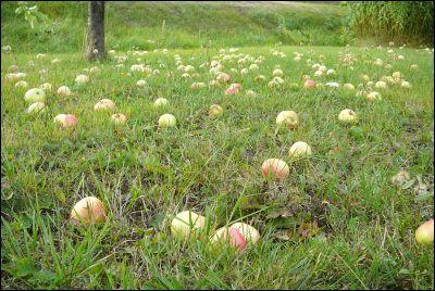 Äpplen fulla gräsmattan.
