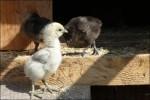 Uppe hos R så hade de 7st 4v kycklingar.