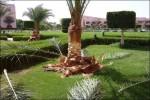 De jobbade med stor del av palmerna på området.