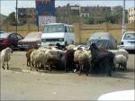 Boskap mitt på vägen ser man i Kairo med!